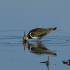 Avefría europea (Northern lapwing)