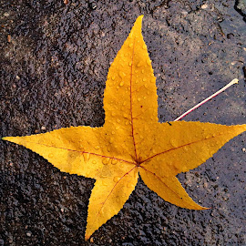 Gold  star leaf by Dobrin Anca - Nature Up Close Leaves & Grasses ( birthday, happy, star, leaf, gold,  )