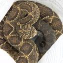 Cascabel - Rattlesnake