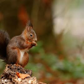 Red squirrel by Cédric Guere - Animals Other ( mammals, wild, red, nature, wildlife, cute, squirrel, animal )