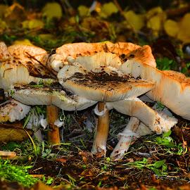 Forest mushrooms by Alah Ja Ja Bin - Nature Up Close Mushrooms & Fungi ( fungi, nature, colors, food, funghi, forest, close up, natural, photography, mushrooms )