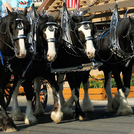 Parade Time by Kathy Tellechea - Animals Horses ( parade, horses, chrome, team, pendleton )