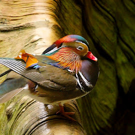 Mandarin by John Larson - Animals Birds