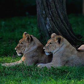 Relaxing together by Kelly Murdoch - Animals Lions, Tigers & Big Cats ( lion, england, uk, relax, grass, lioness, relaxing, ztam )