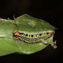 Orange Awlet caterpillar