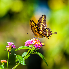 Spreading my wings by Kevin Mummau - Novices Only Wildlife ( butterfly, pollen, colorful, pollinator, pollination, flower )