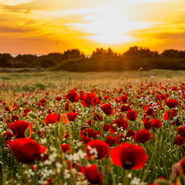 Red sunset by George Papapostolou - Landscapes Sunsets & Sunrises ( field, nikon d610, sunset, greece, poppies, kos island, greecegeorge papapostolou )