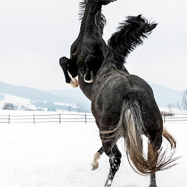 by Carla Coanda - Animals Horses ( playing, playground, animals, winter, freedom, nature,  )