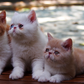 by Neni Wijaya - Animals - Cats Kittens ( bekasi, myhouse, cat, trio kittens, scotis )