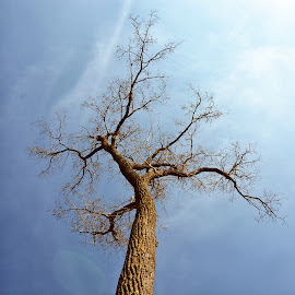 Looking for Spring by Betty Arnold - Landscapes Forests ( reaching skyward, oak, trees, bare branches, forest, landscape,  )