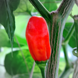 Red Hot Chilli  by Yusop Sulaiman - Nature Up Close Gardens & Produce