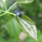 Northern blowfly or blue-bottle fly