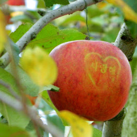 Apple Love by Taylor Bice - Nature Up Close Gardens & Produce ( love, apple festival, country, south korea )