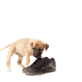 Shoe Thief by Melanie Ayers Wells-Photography - Animals - Dogs Puppies ( pyrenees puppy, bullmastiff, pitbull, puppy )