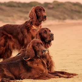 The lookout by Ken Jarvis - Animals - Dogs Portraits ( irish setter, sunset, dog portrait, beach, cute dog )