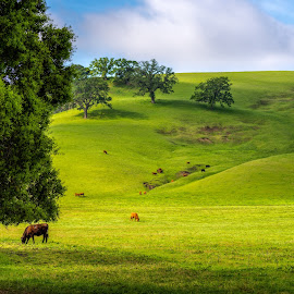 Greener Pastures by Mark Cote - Landscapes Prairies, Meadows & Fields ( field, morgan territory, pasture, grass, green, meadows, oak trees, cattle, spring, cows, renewal, trees, forests, nature, natural, scenic, relaxing, meditation, the mood factory, mood, emotions, jade, revive, inspirational, earthly )