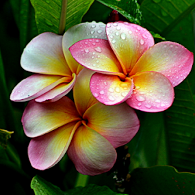 Pink Frangipani 41 by Mark Zouroudis - Flowers Flowers in the Wild (  )