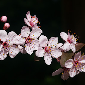 Tree Blossoms by Paul Griffin - Flowers Tree Blossoms ( tree, bright, vivid, pink, spring, blossoms, plum, soft )