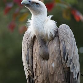 Griffon Vulture (Gyps fulvus) by Vincent van Rooijen - Animals Birds ( bird, large bird, gyps, vulture, fulvus, majestic, griffon )