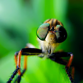 Robber Fly by Rizki Irfansyah - Animals Insects & Spiders ( rainbow eyes, beautiful eyes, robber fly, robberfly )
