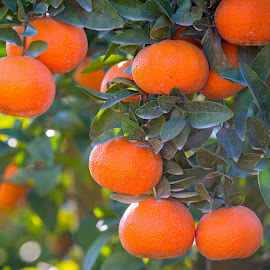 Mandarinas by Richard Duerksen - Nature Up Close Gardens & Produce ( mandarins, citrus, california )