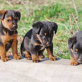 Three puppies by Ivan Marjanovic - Animals - Dogs Puppies ( muzzle, horizontal, paw, several, puppy, together   animal, cute, dog, eyes, animal )