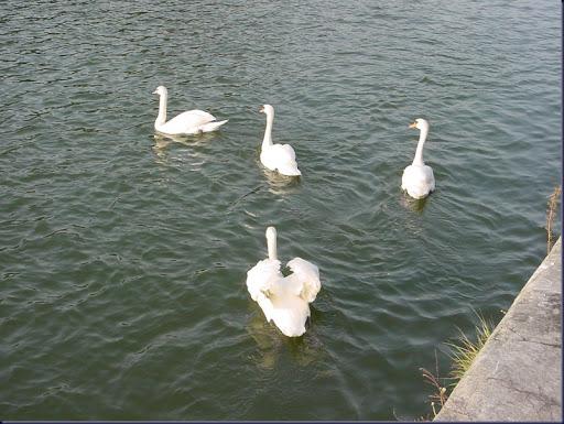 039_Antwerp - Swans