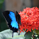 Blue Mountain Butterfly