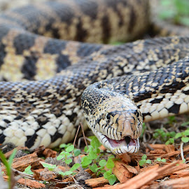 Bullsnake by Jill Beim - Animals Reptiles