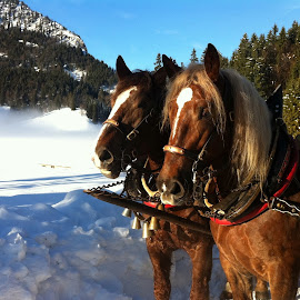 Out in the Snow by Peter Sewell - Animals Horses ( winter, mountain, horses, carriage, snow, bayern, germany, spitzingsee )