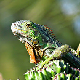 On the Look out.... by Val Brill - Animals Reptiles ( iguana, cactus )