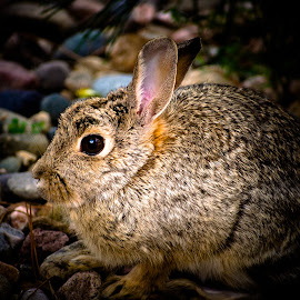 Can you see me? by Coleen Sullivan - Animals Other Mammals ( rabbit, brown eyes, nature, bunny, vignette, close up )