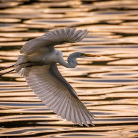 On a Golden Pond by Mahdi Hussainmiya - Animals Birds ( backlight, wings, ripples, bird in flight, bif, bird, fly, flight )