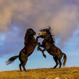 wild horses by Dražen Boškić - Animals Horses ( wild hors,  )