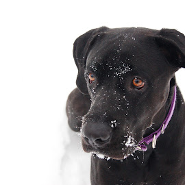 Snow Flake by DeAnn Jones - Animals - Dogs Portraits ( cold, focuses, snow, dog, portrait, black )