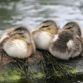 Huey, Duey and Luey? by Dan Dusek - Animals Birds ( animals, estuary, duckling, waterscape, birds )