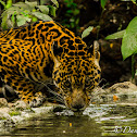 Jaguar (Onça-pintada)