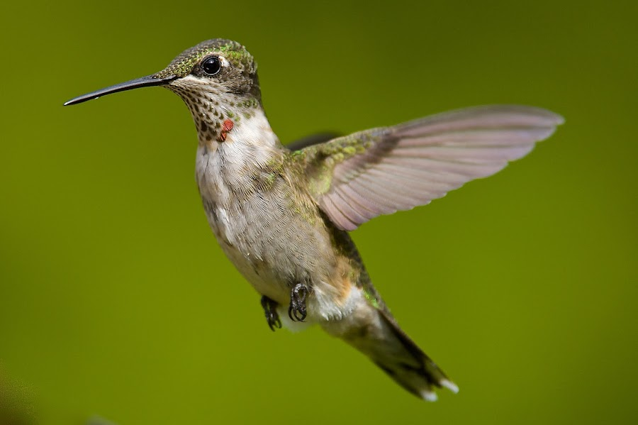 1/2 Pint by Roy Walter - Animals Birds ( flight, animals, nature, wings, hummingbird, wildlife, birds )