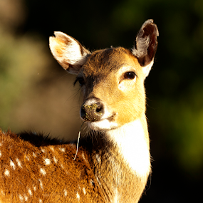 Deer and bokeh by Cristobal Garciaferro Rubio - Animals Other Mammals