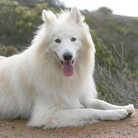 by Viks Pix - Animals - Dogs Portraits ( pose, shepherd, model, german, white, husky, samoyed, dog, malamute, gsd )