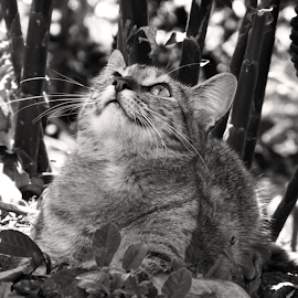by Ana Cárdenas O - Animals - Cats Portraits ( cats, animals, nature, black and white, pets )