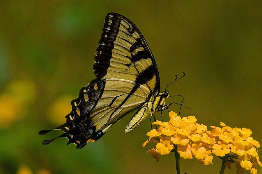 Tiger Swallowtail by Roy Walter - Animals Insects & Spiders ( tiger swallowtail, butterfly, animals, nature, insect )