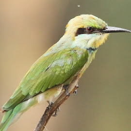 Green Bee-eater  by Sankaran Balaji - Animals Birds ( animals, nature, green, beeeaters, birds )