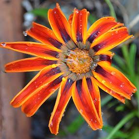 The Days Are Short by Ed Hanson - Flowers Single Flower ( water, orange, macro, drops, black, flower )