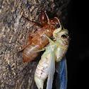 Cicada (molting)