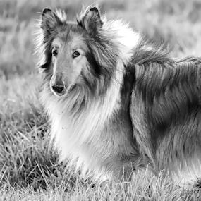 Collie by Cristobal Garciaferro Rubio - Black & White Animals