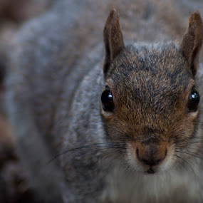 Squirrel at Wollaton by Ruth Holt - Novices Only Wildlife ( face, friendly, wollaton, nose, nottingham, squirrel, eyes,  )
