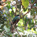 Green Tailed Jacamar