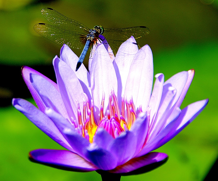 Water lotus with dragonfly by Slpaok Perez - Flowers Flowers in the Wild