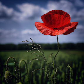 poppy by Branka Radmanić - Nature Up Close Flowers ( croatia, meadow, poppy, spring, flower )